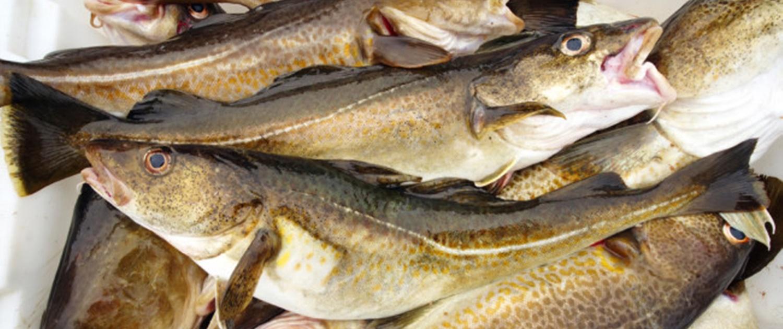 buy smoked haddock online