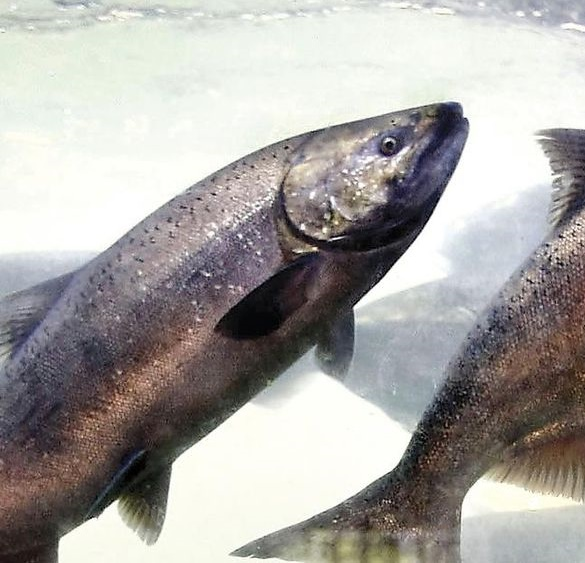 Picture of salmon fish.
